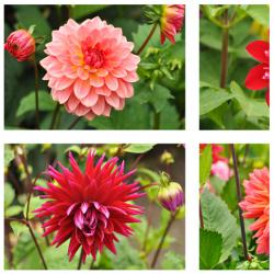 Just Dahlias